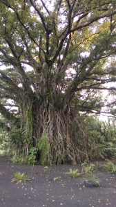 Local Flora: A Banyan. And This is a Small One.